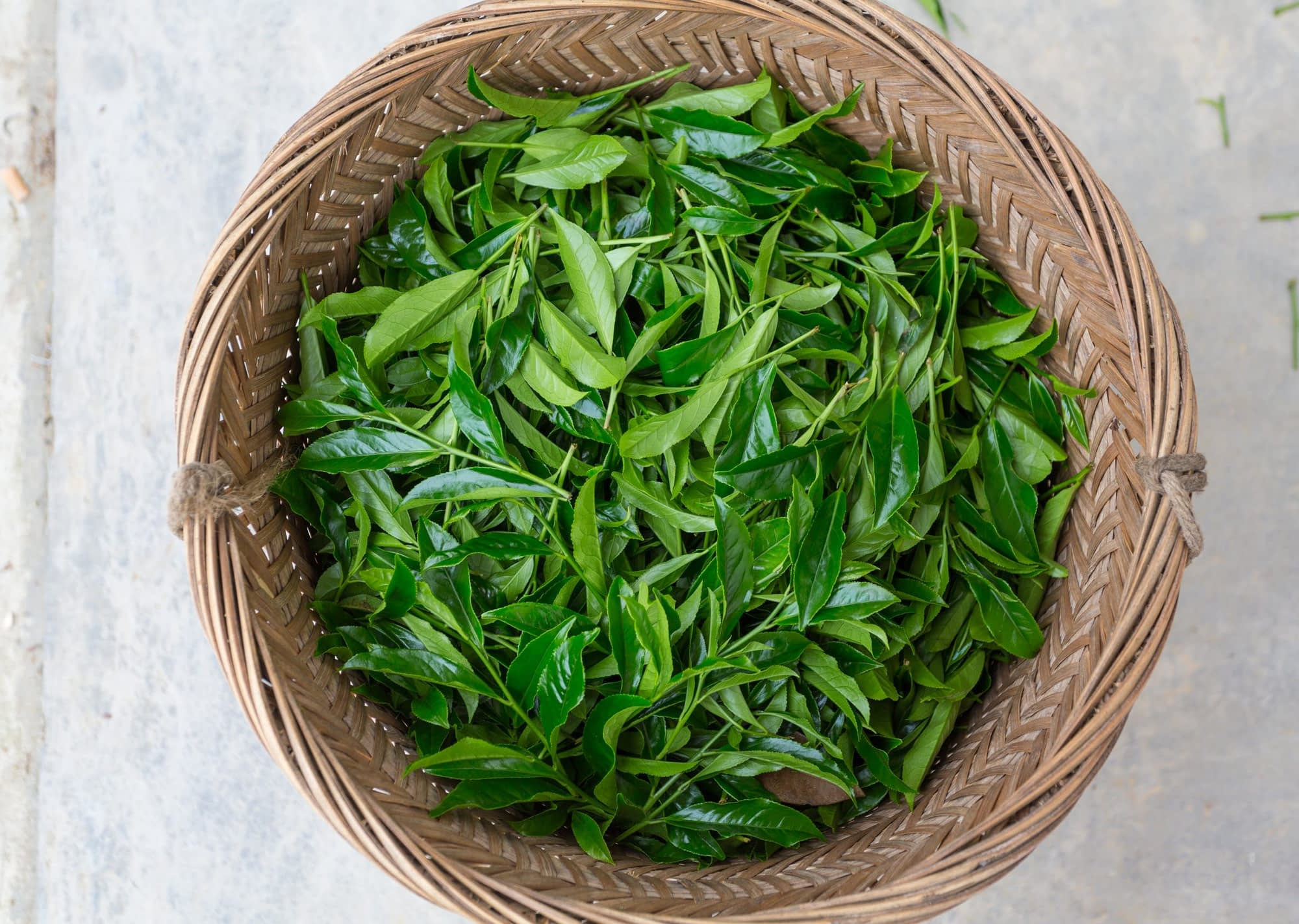 fresh picked tea leaves scaled