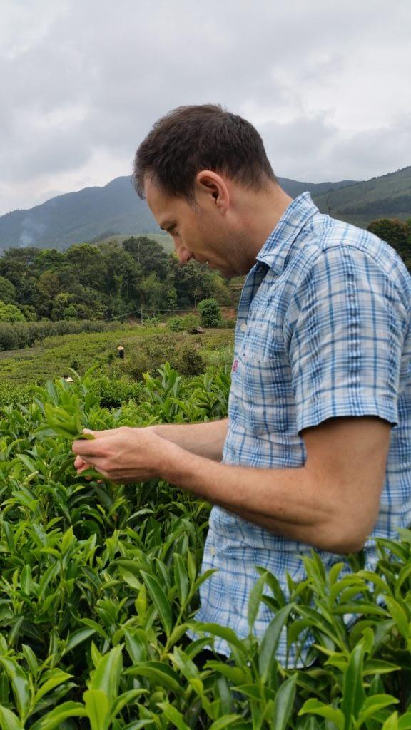 Teeernte in Fenghuang