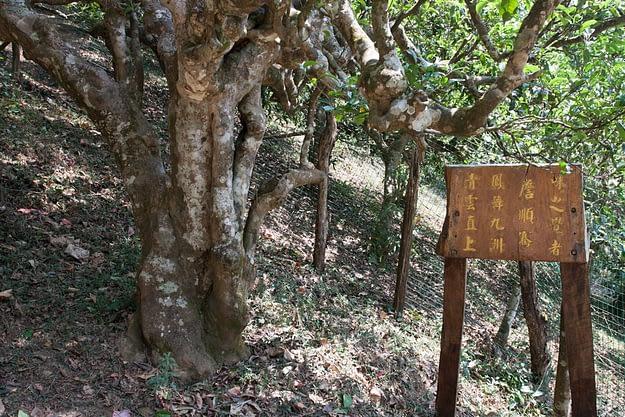 alter Teebaum