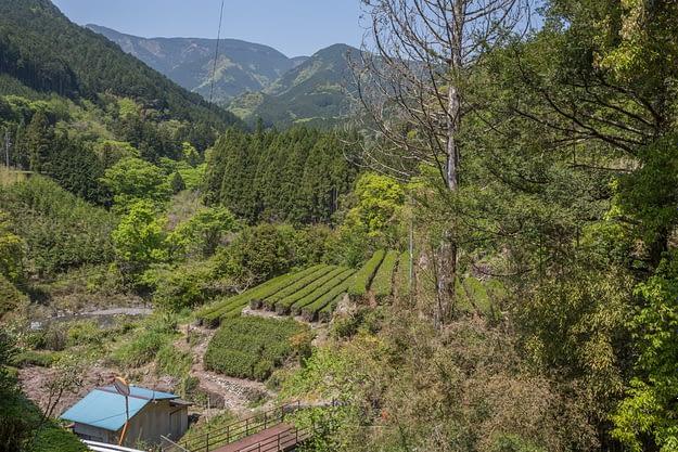 Honyama Teefelde mit Abe Fluss im Hintergrund