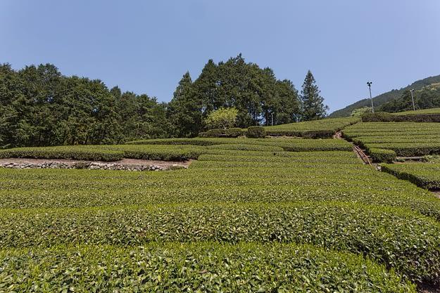 Honyamas Teefelder