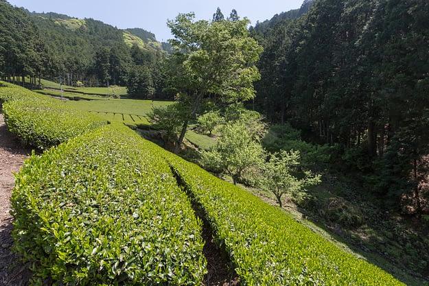 Honyama Teefelder sind umgeben von Wäldern
