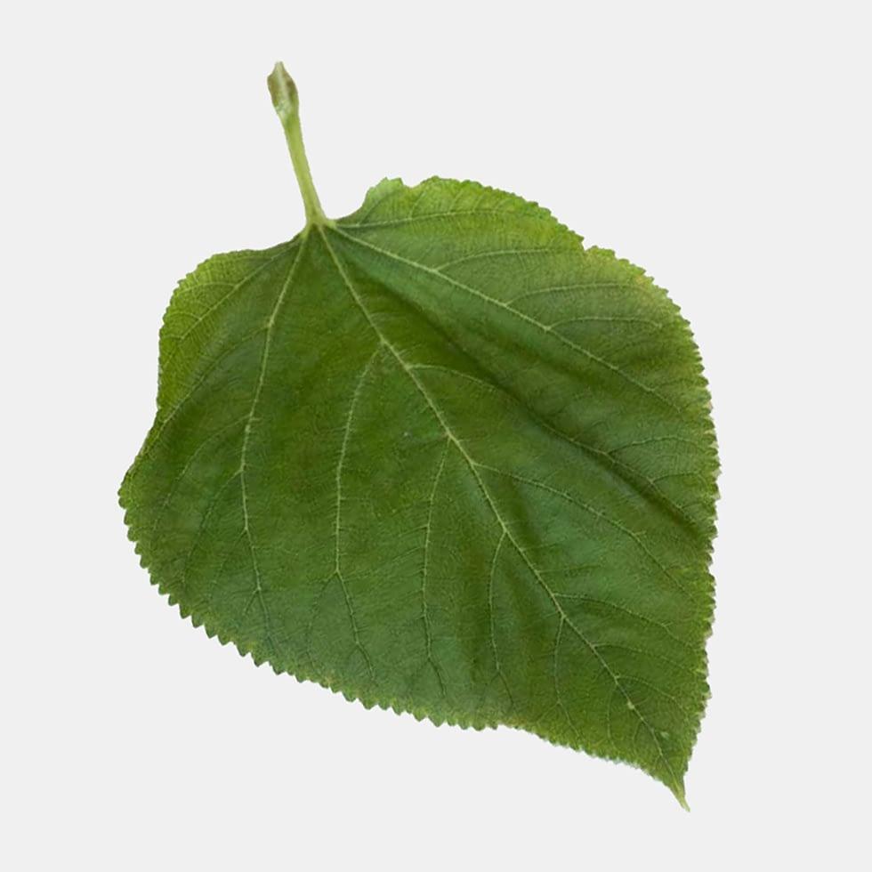 Mullberry 1