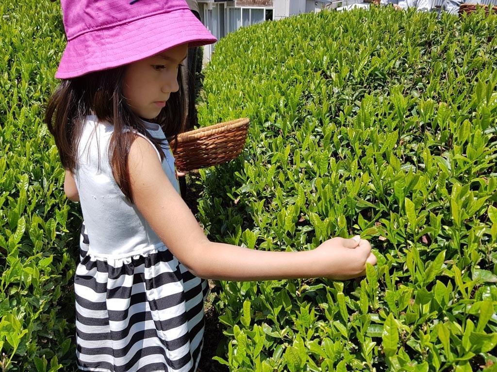 Jasmin pflückt Teeblätter